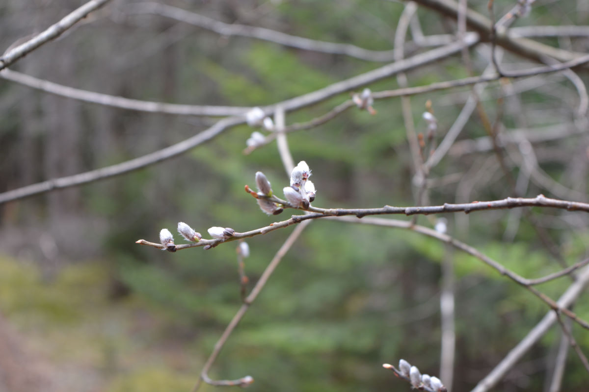 buds blossoming on tree branch