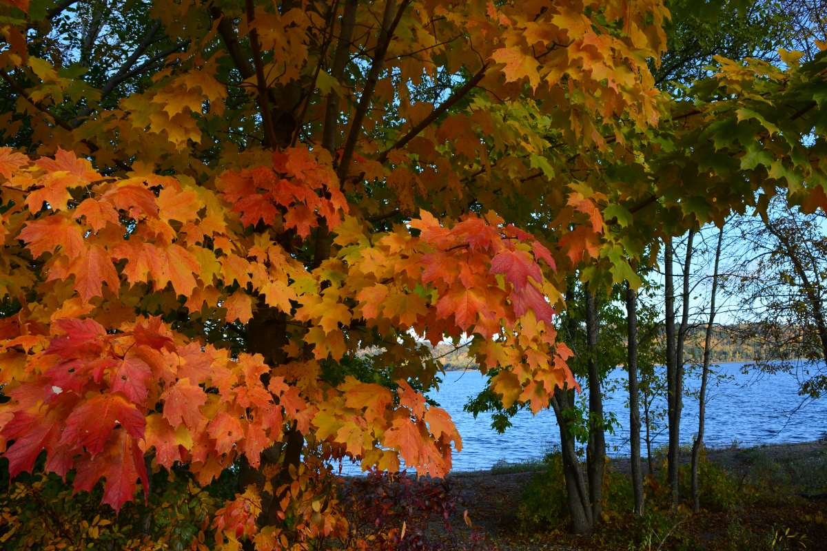 fall leaves near the river